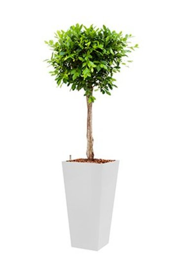 Ficus Nitida + pot