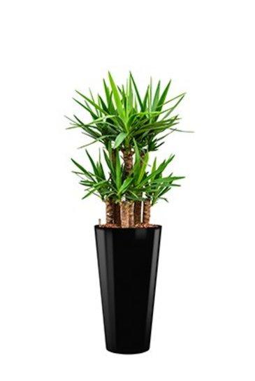 Opgemaakte yucca in een ronde zwarte pot kopen for Yucca exterieur pot