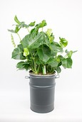 Olievat met Philodendron