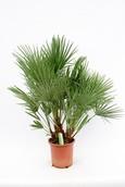 Palm Chamaerops Humilis