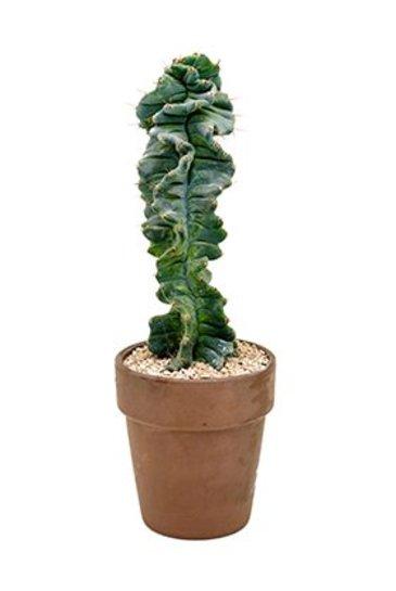 Cactus Cereus Forbesii Spiralis