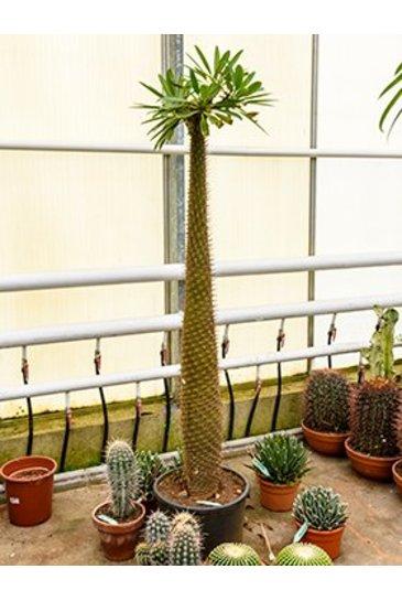 Pachypodium Lamerei - Madagascarpalm