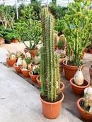 Cactus Trichocereus Pachanoi