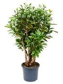 Croton Aucubaefolia