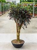 Croton Mamey