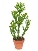 Euphorbia Mauritania