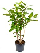 Ficus Benghalensis Variegata