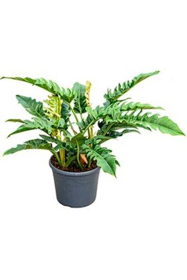 Philodendron Narrow - Phileo