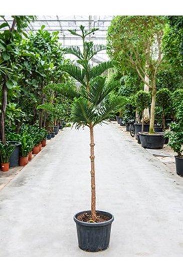 Araucaria Heterophylla - Puzzle Tree