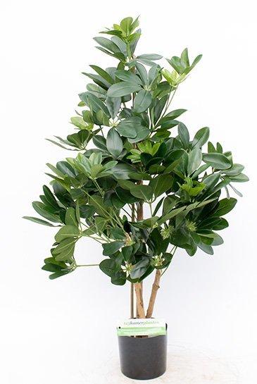 Kunstplant Natural schefflera - (Zijdeplant)