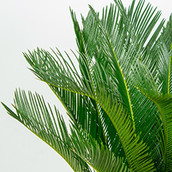 Close up van een Cycas