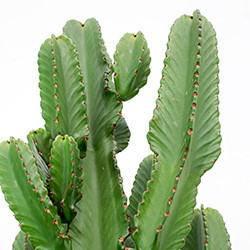 Euphorbia verzorging