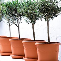 Olijfboom (Olea Europaea) verzorging