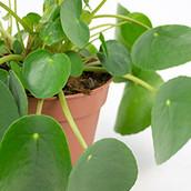 Close up van een Pannenkoekenplant