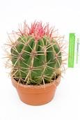 Cactus Ferocactus Pilosus