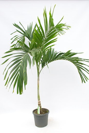 Palm Veitchia Merrillii - Flespalm