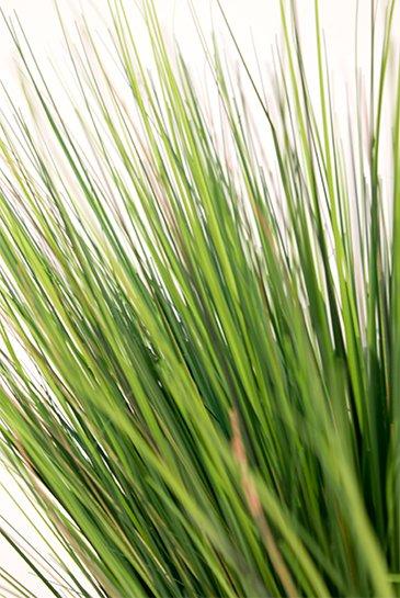 grass onion zijdeplant bestellen 123kamerplanten. Black Bedroom Furniture Sets. Home Design Ideas