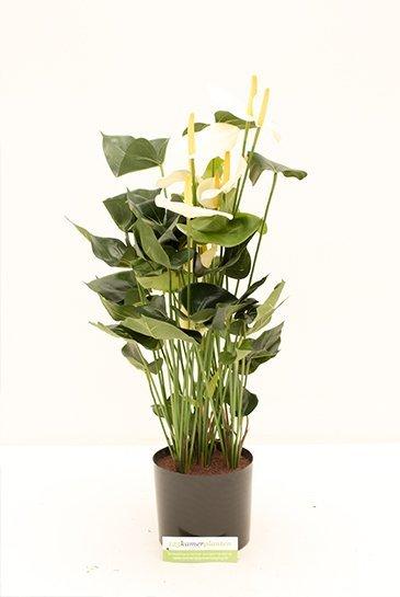 Kunstplant Anthurium de luxe - (Zijdeplant)