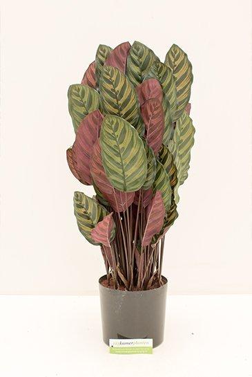 Kunstplant Calathea - (Zijdeplant)