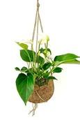 Kokodama Anthurium White