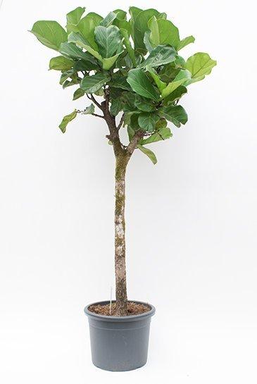 Ficus Lyrata - Tabaksplant