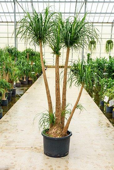 Beaucarnea Recurvata (Olifantspoot) - Hydroplant