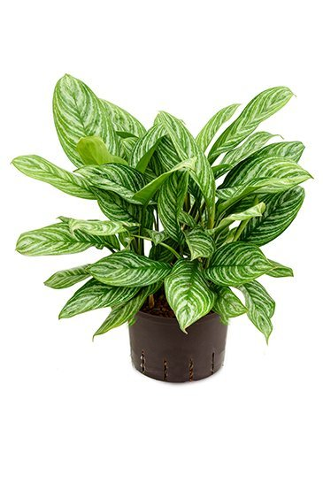 Aglaonema Stripes  (Chinese Evergreen) - Hydroplant