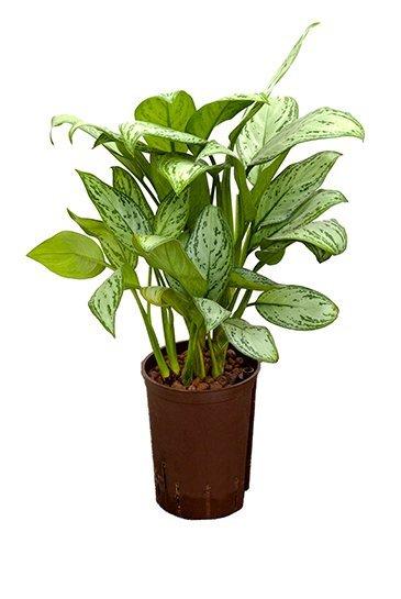 Aglaonema Christina (Chinese Evergreen) - Hydroplant