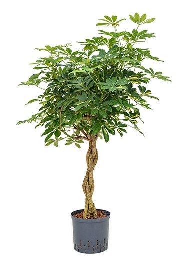 Schefflera Gold Capella (Vingersboom) - Hydrocultuur
