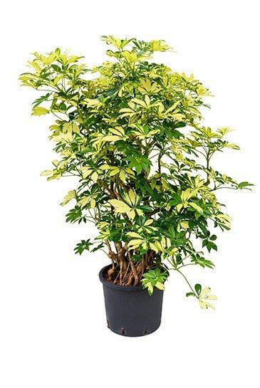 Schefflera Trinette (Vingersboom)
