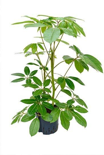 Schefflera Amate (Vingersboom) - Hydrocultuur
