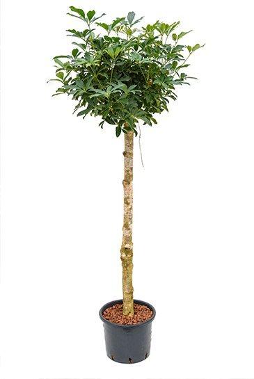 Schefflera Arboricola (Vingersboom) - Hydrocultuur