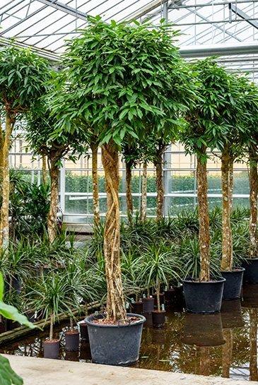 Ficus Amstel King (Vijgenboom) - Hydroplant
