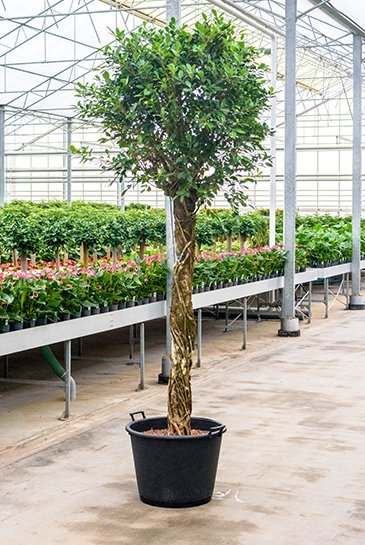 Ficus Nitida - Hydrocultuur