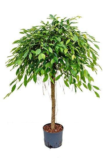Ficus Foliole (Vijgenboom)