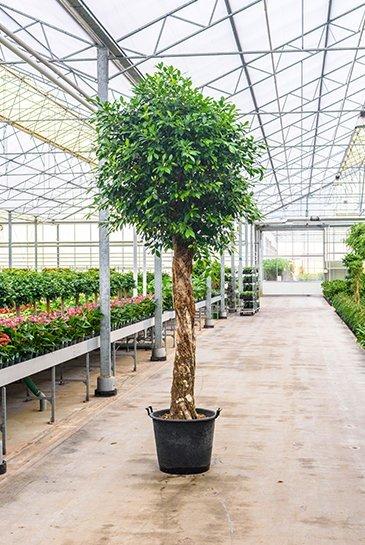 Ficus Nitida (Vijgenboom) - Hydroplant
