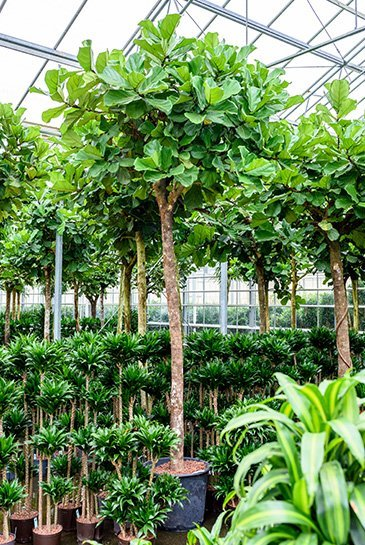 Ficus Lyrata  - Hydrocultuur