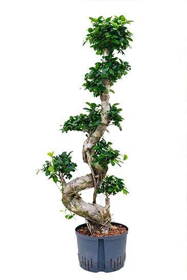Ficus Microcarpa Compacta (Bonsaiboom) - Hydroplant