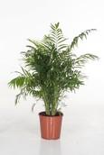 Palm Chamaedorea Elegans