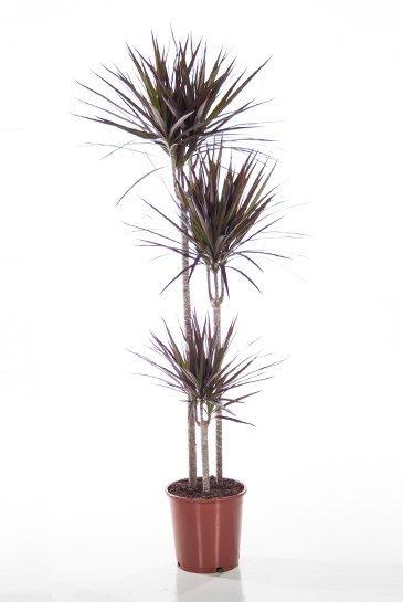 Dracaena Magenta - Drakenbloedboom