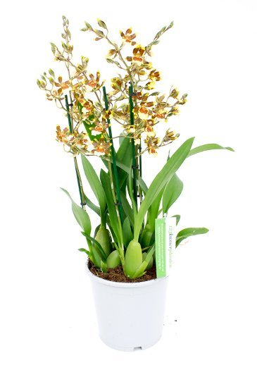 Orchidee Cambria Tropic Jungle (Groen/Wit)