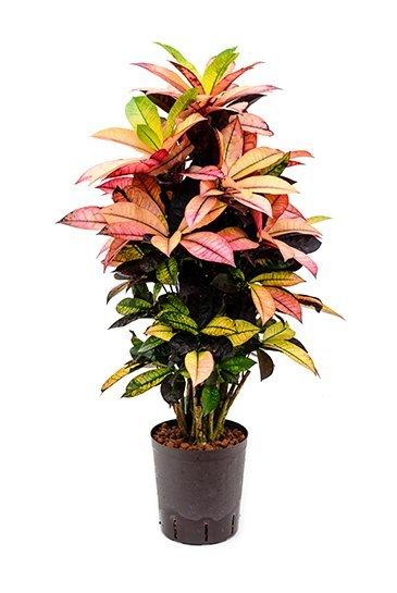 Croton Iceton (Wonderstruik) - Hydroplant