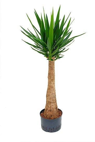 Yucca Bigfoot (Palmlelie) - Hydroplant
