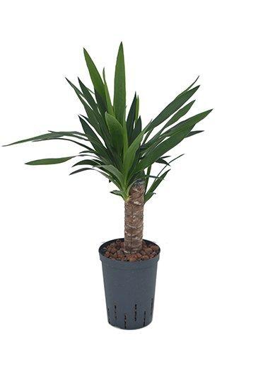 Yucca Elephantipes (Palmlelie) - Hydrocultuur