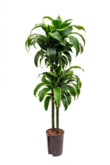 Dracaena Dorado (Drakenbloedboom) - Hydrocultuur