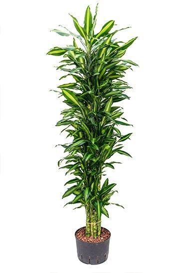 Dracaena Cintho (Drakenbloedboom) - Hydrocultuur