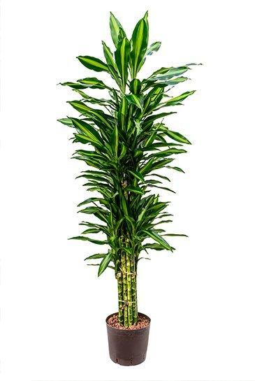 Dracaena Cintho (Drakenboom) - Hydroplant