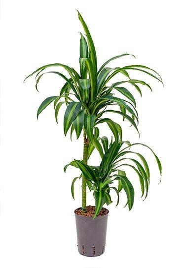 Dracaena Hawaiian Sunshine (Drakenbloedboom) - Hydrocultuur