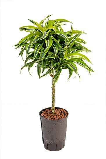 Dracaena Suprise (Drakenbloedboom) - Hydrocultuur