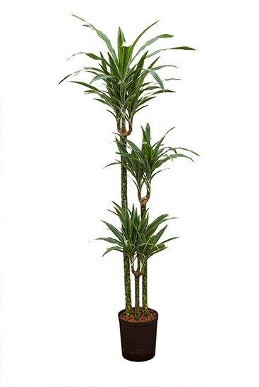 Dracaena Deremensis (Drakenboom) - Hydroplant